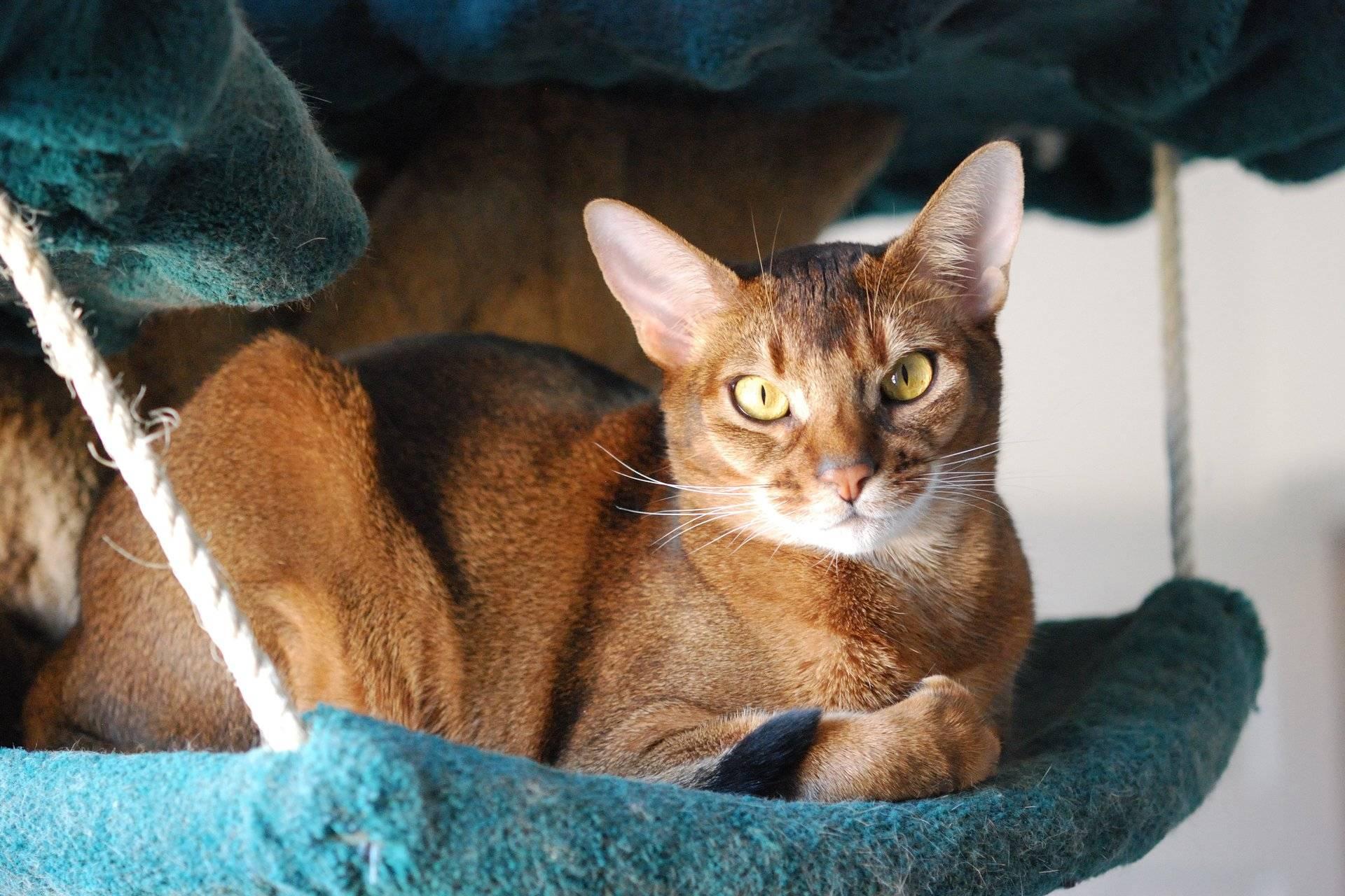 Все, что нужно знать об абиссинских кошках и котах