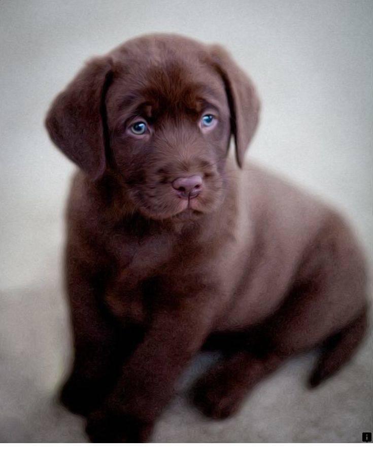 Шоколадный лабрадор с голубыми глазами