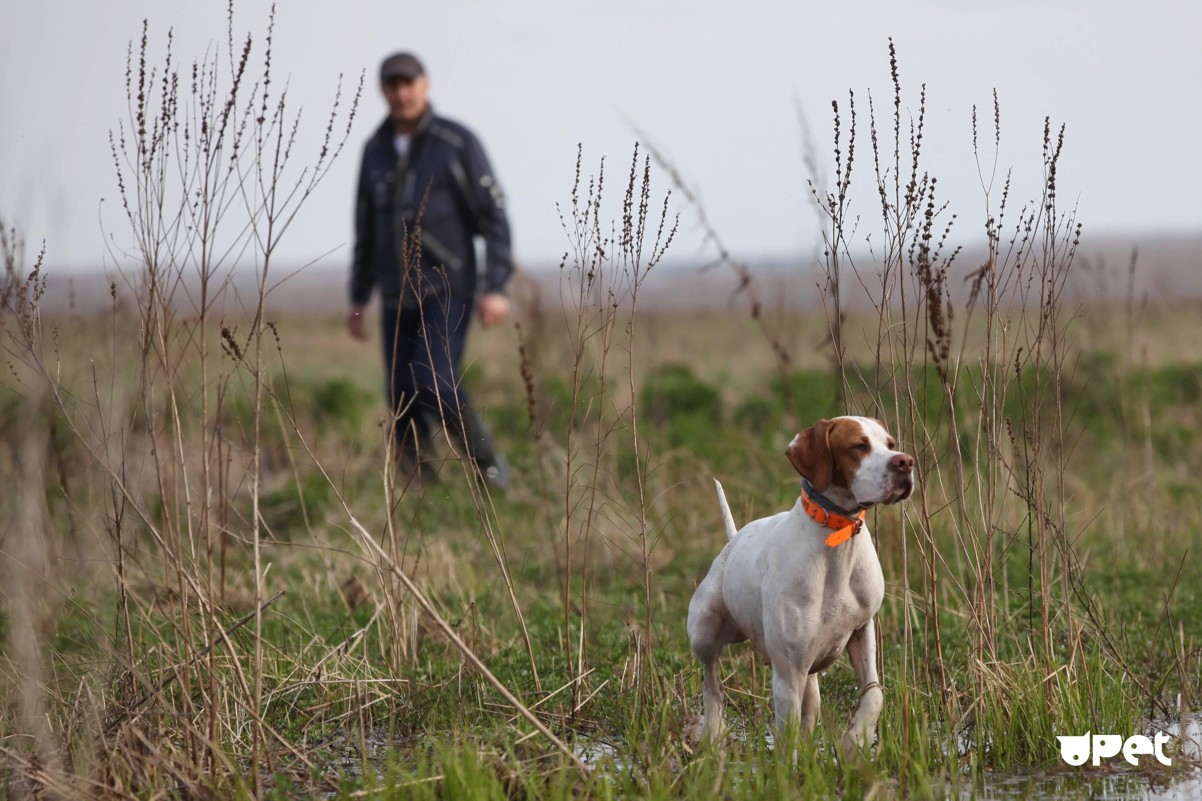 Английский пойнтер собака. описание, особенности, уход и цена английского пойнтера   sobakagav.ru