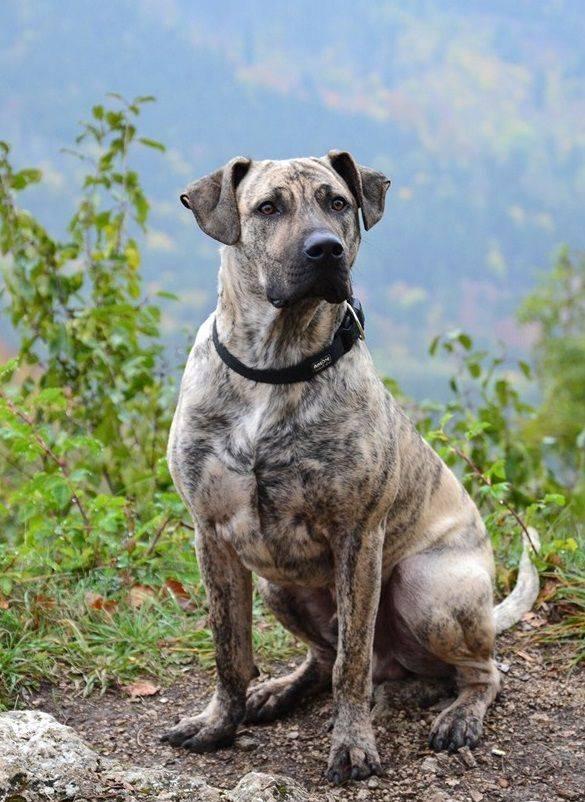 Пиренейская овчарка: описание породы собак с фото и видео