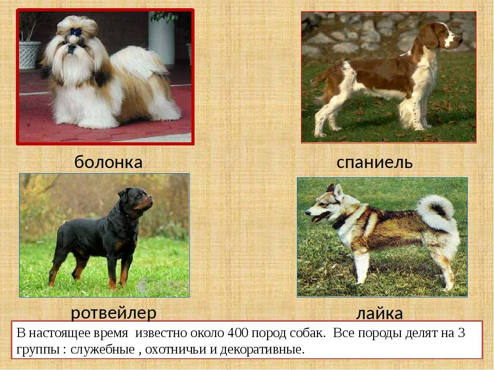 Русская цветная болонка — собака с ангельским характером