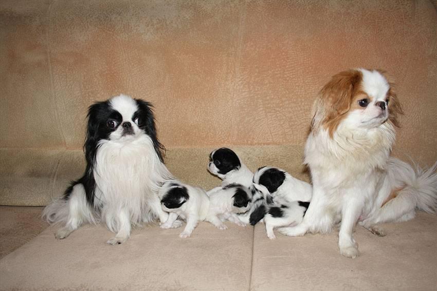 Японский хин собака. описание, особенности, уход и цена японского хина