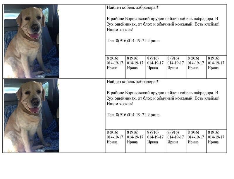 Сколько живут лабрадоры в домашних условиях, и как продлить жизнь собаке?