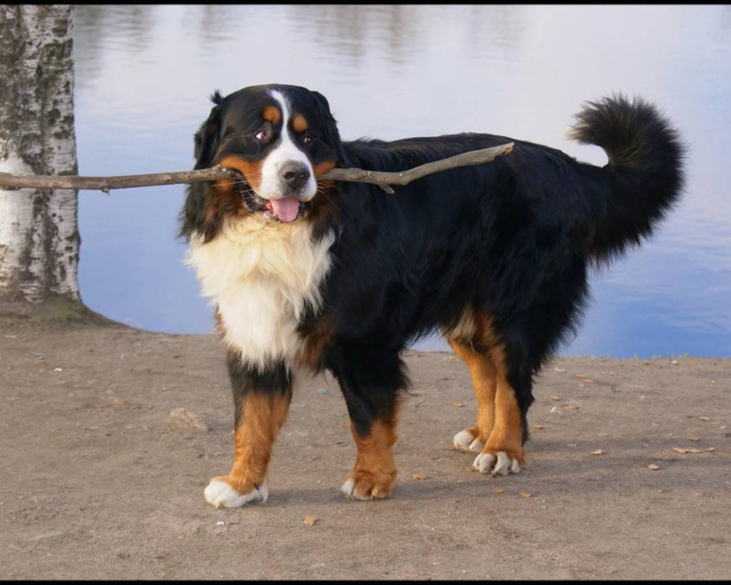 Австралийская пастушья собака (хилер): описание, цена и где купить, фото | petguru