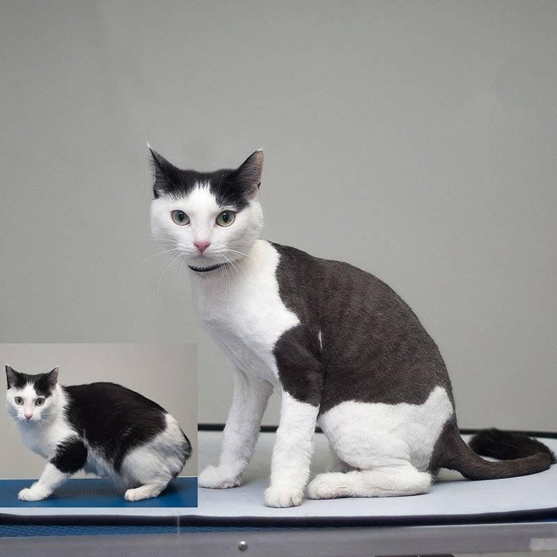 Стрижка кошек: как подстричь правильно и что нужно