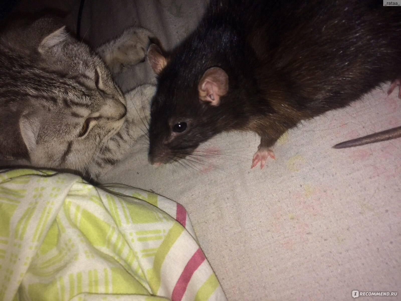 Почему моя крыса кусает меня?
