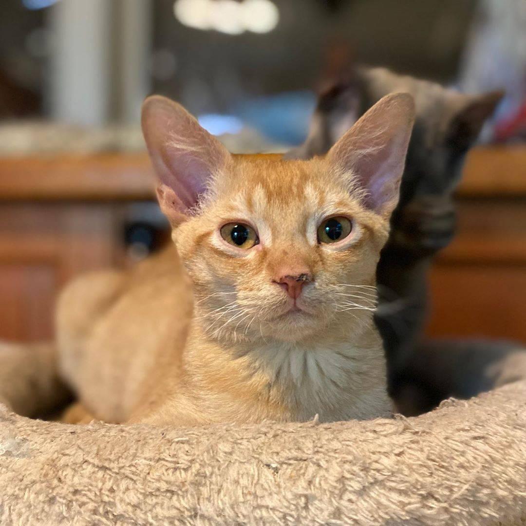 Кошка корниш-рекс: описание породы и характера, отзывы владельцев