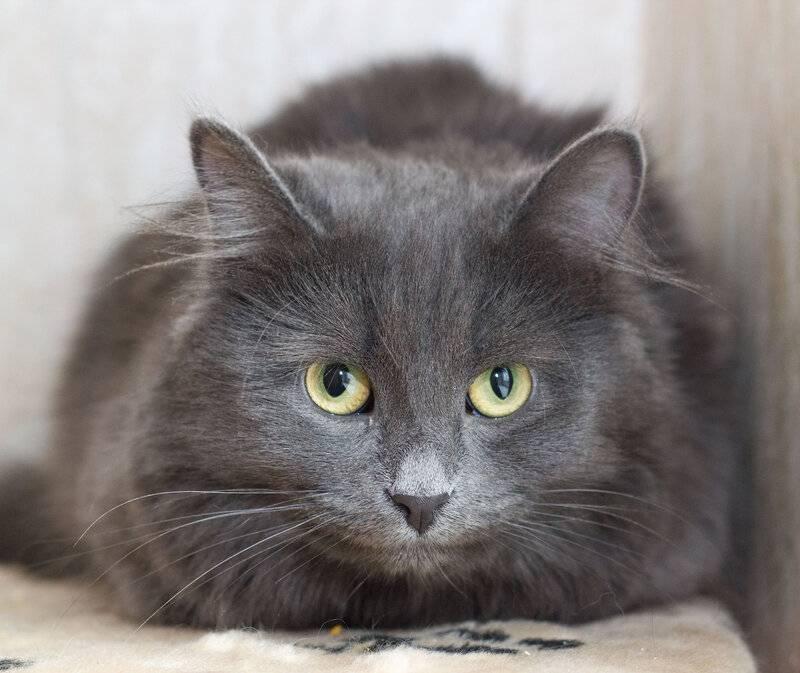 Порода кошек нибелунг: описание, характер и фото