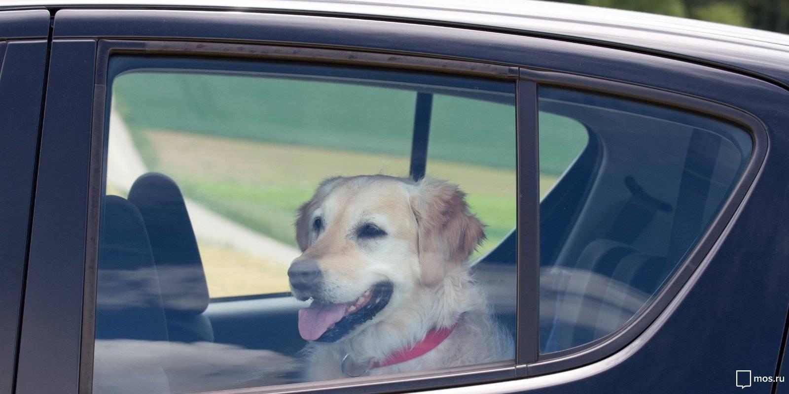 Собаку укачивает в машине: физиологические и психологические причины, чем помочь питомцу