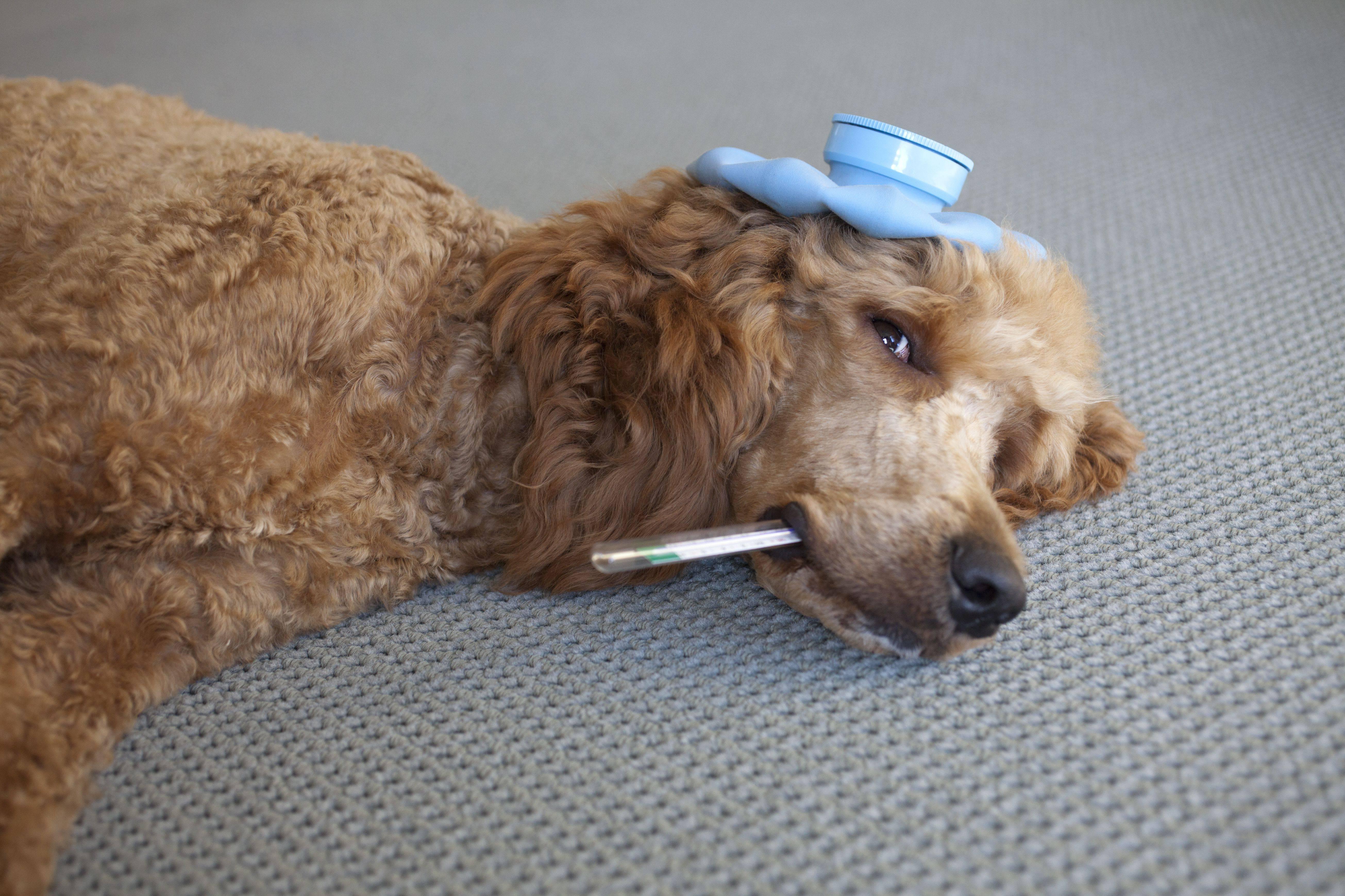 Аденовирус у собак. как определить и чем он опасен