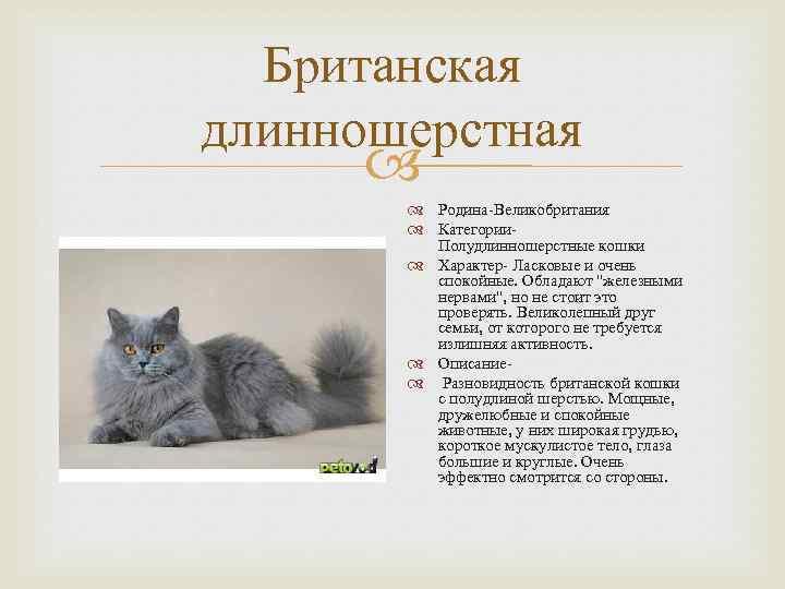 Британская кошка — история происхождения, описание породы, шерсть, вязка, уход + 84 фото
