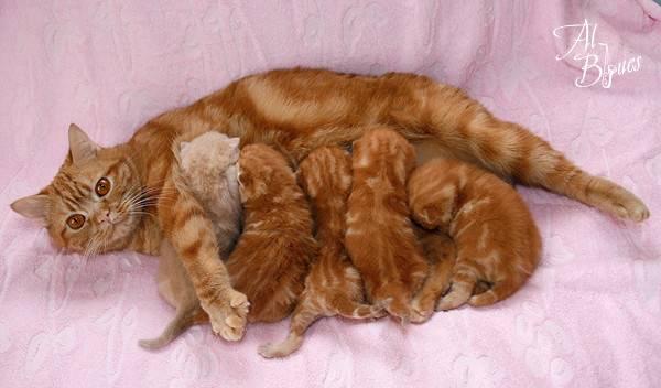 ᐉ породы рыжих котов с фотографиями названиями, кошки с длинным хвостом - zoomanji.ru