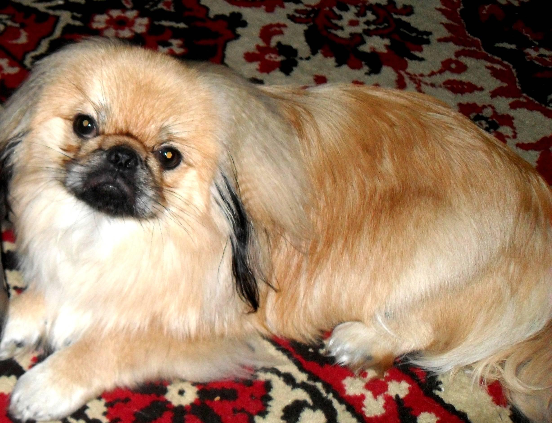 Пекинес: порода собак, описание, сколько живут, как выглядит, цена, королевский, белый, черный