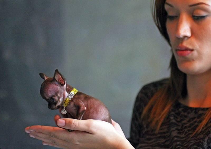 Самые маленькие собачки в мире: истории Туди и Милли