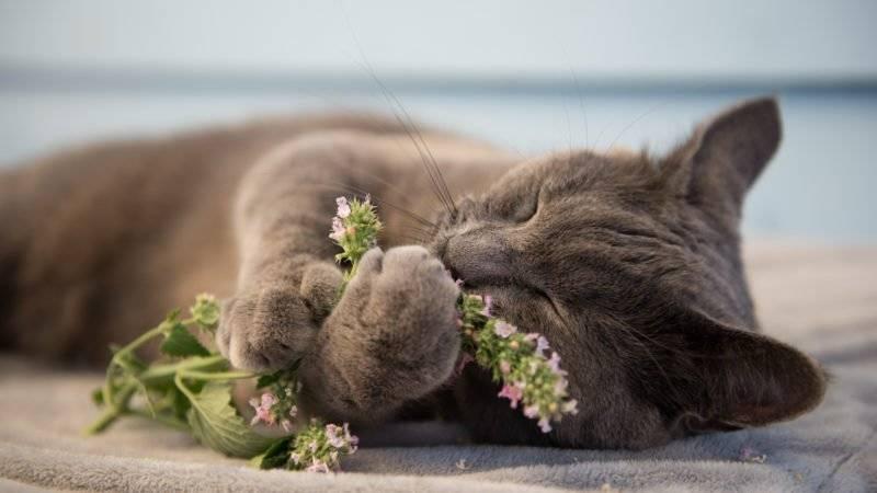 Валерьянка для кошек: действие, реакция, вред и польза, откуда такая любовь?
