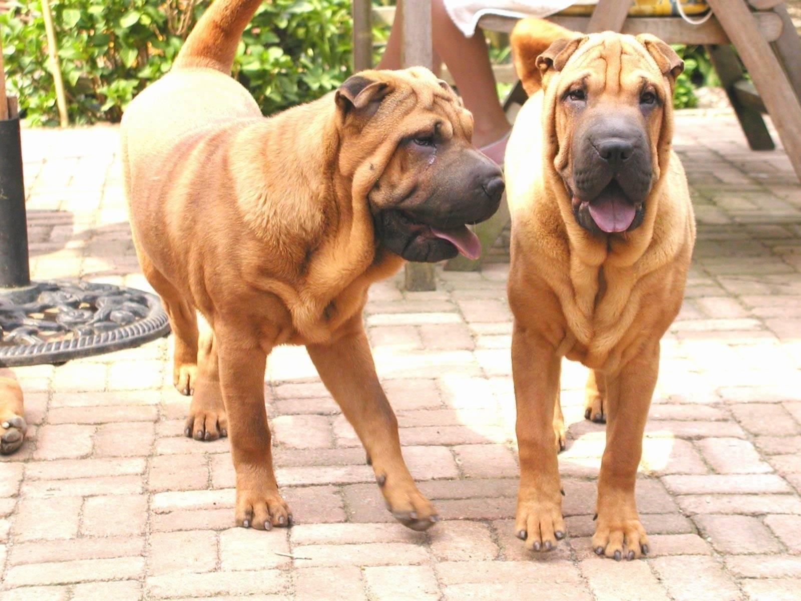 Особенности черных шарпеев: фото взрослых собак и щенков, описание стандарта и правила содержания + выбор питомца