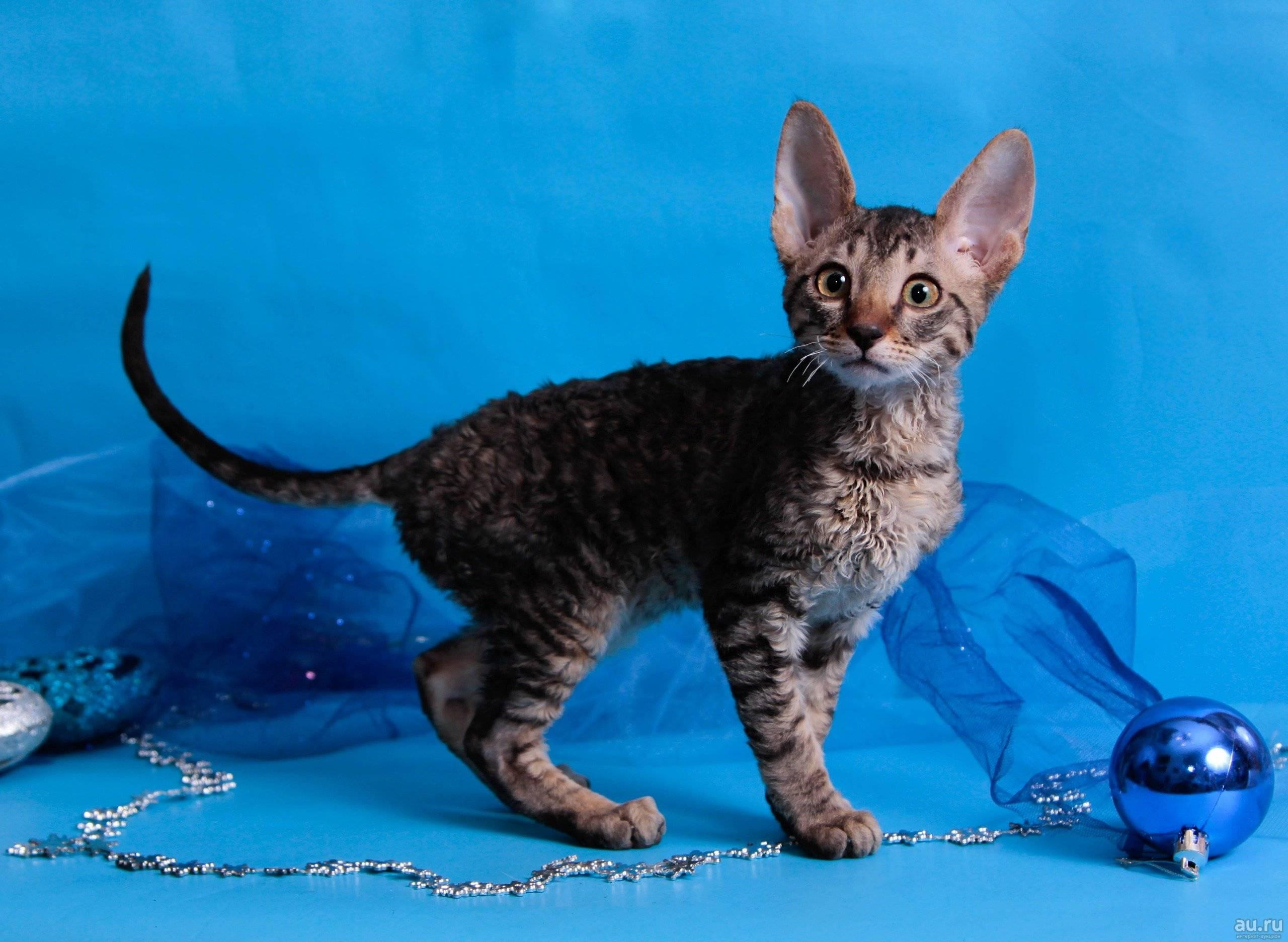 Корниш-рекс кошка. описание, особенности, уход и цена за породой кошек корниш-рекс