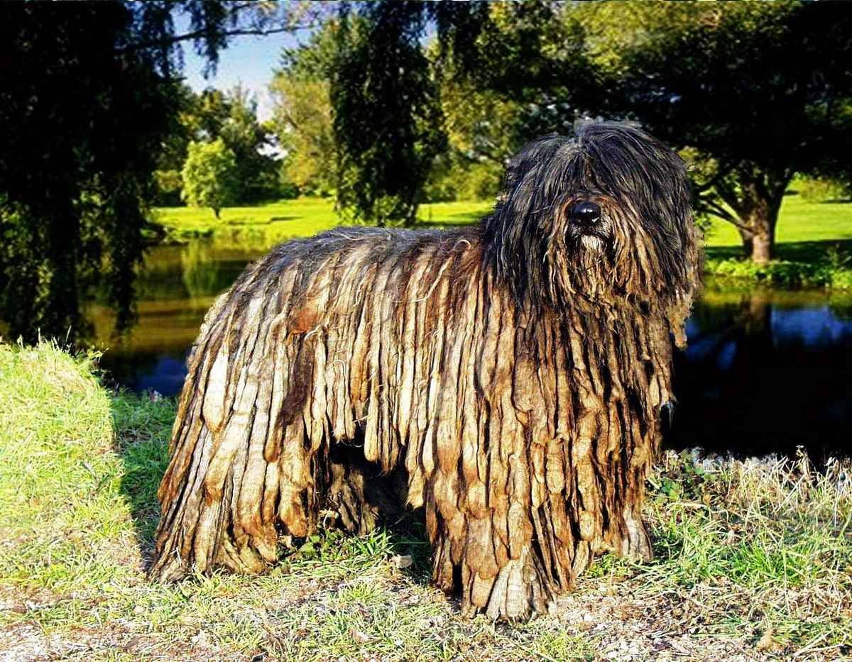 Бергамская овчарка: фото, описание и характеристика породы, уход