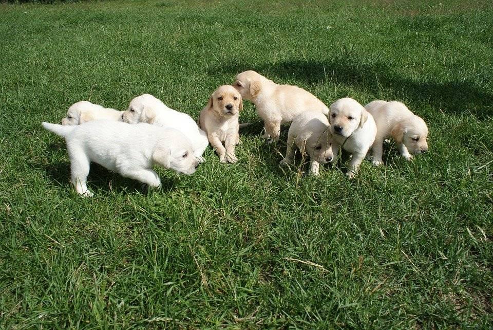Мини лабрадор: как выглядит маленький карликовый питомец на фото,описание породы, а также средняя цена на собак