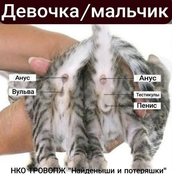 Как определить пол котенка. методы и способы отличия