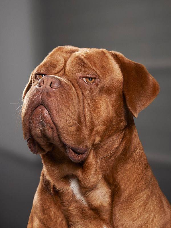 Бордоский дог. о породе собак: описание породы бордоский дог, цены, фото, уход