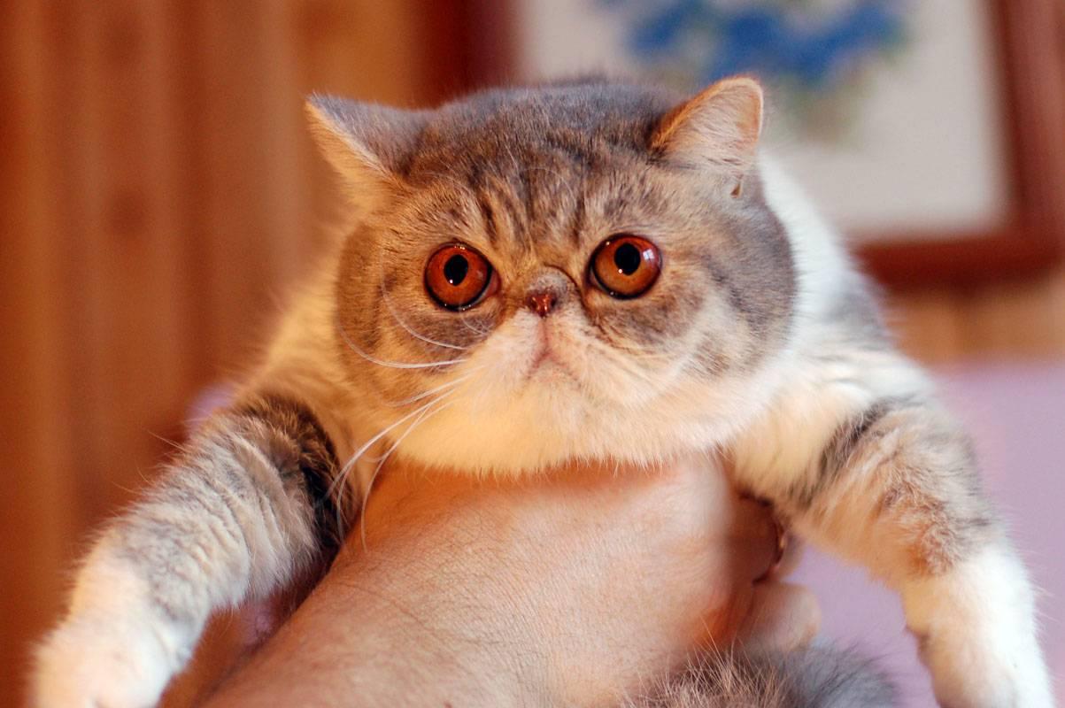 Экзотическая кошка или короткошерстный перс