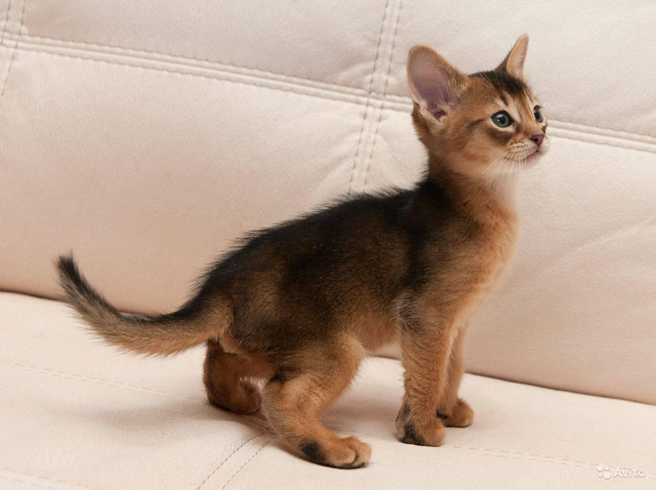 Абиссинская кошка - описание и стандарт породы, характер и особенности поведения, уход в домашних условиях