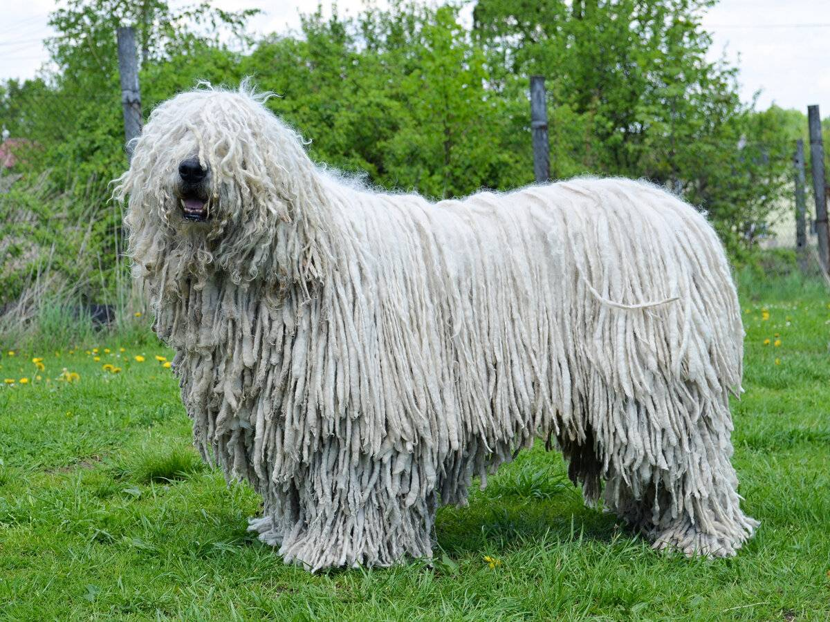 Венгерская овчарка (комондор): описание породы, купить щенка, пастушья собака, как называется