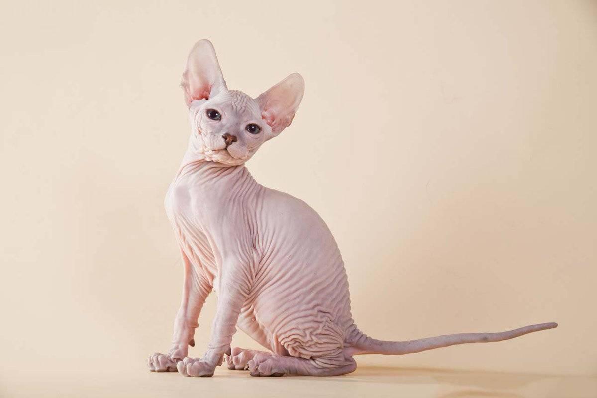 О породе кошек донской сфинкс