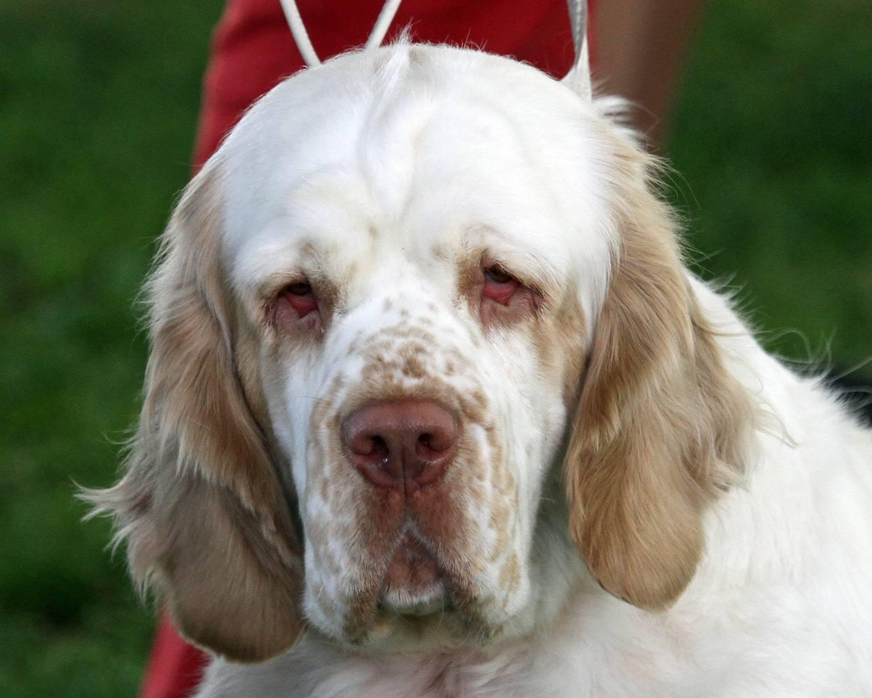 Кламбер-спаниель: фото, описание породы, характер, уход | все о собаках