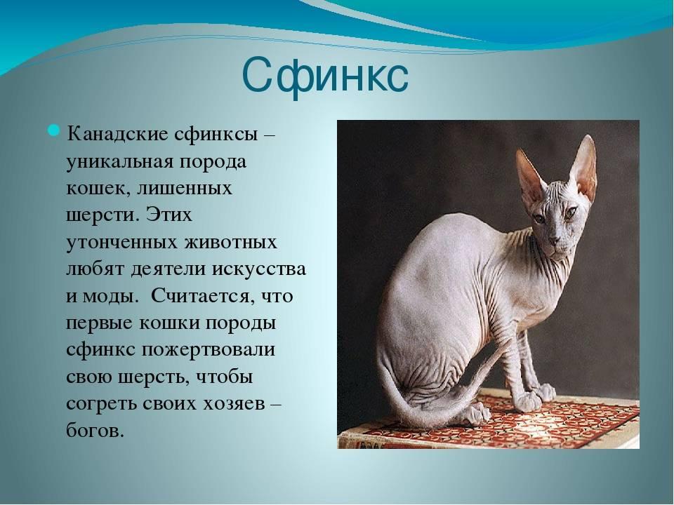 Сфинксы: описание породы, сколько живут, стандарты породы