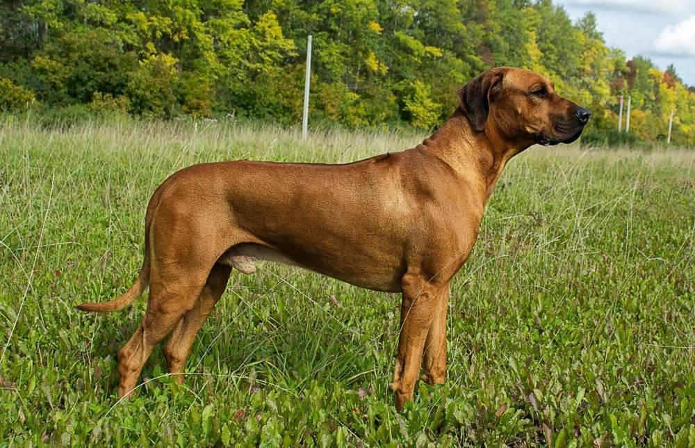 Внешний вид и характеристика собак охотничьей породы родезийский риджбек, воспитание и дрессировка