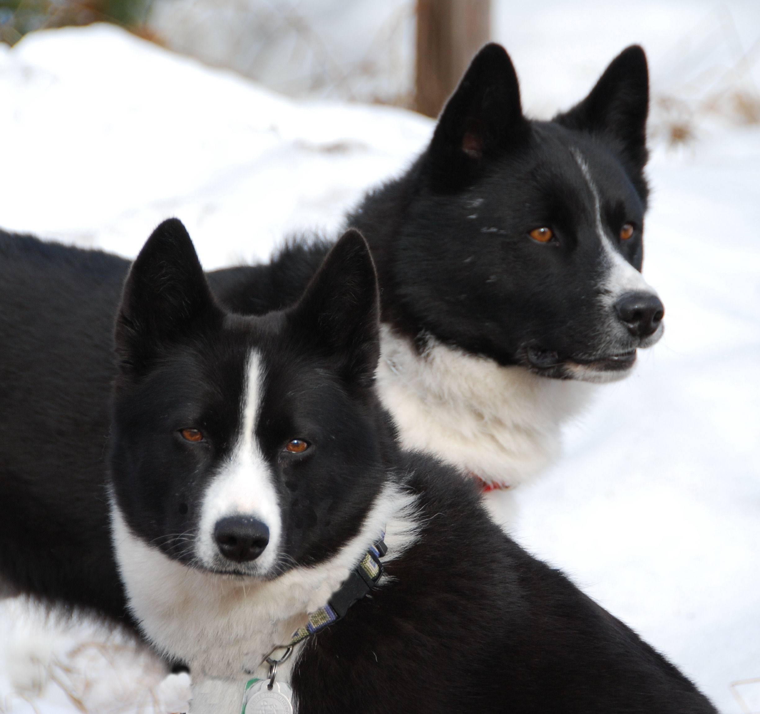 Карельская медвежья собака – энциклопедия о собаках