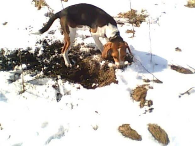 Особенности охоты с гончими собаками