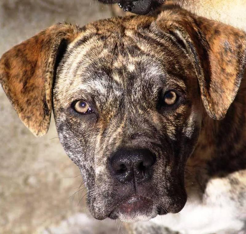 Испанский алано − фото собаки, описание породы, цена