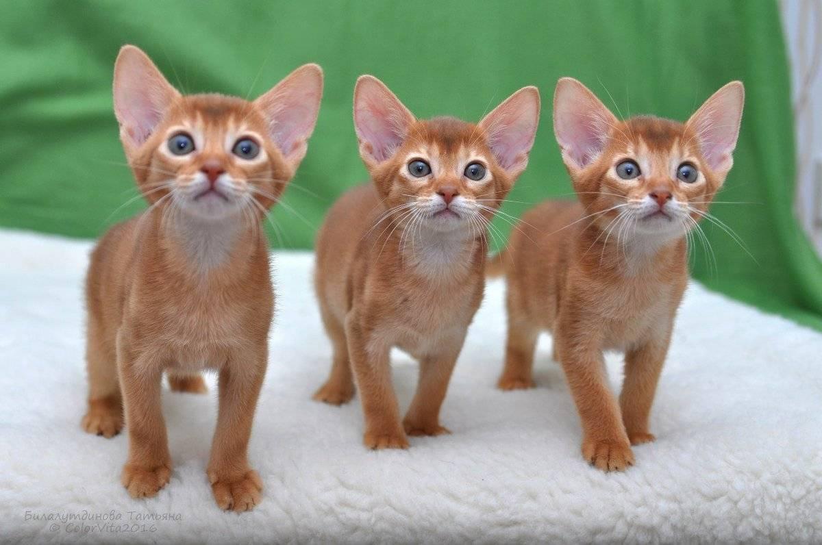 Самые ласковые и добрые кошки: топ-15 пород с фото и описанием самые ласковые и добрые кошки: топ-15 пород с фото и описанием