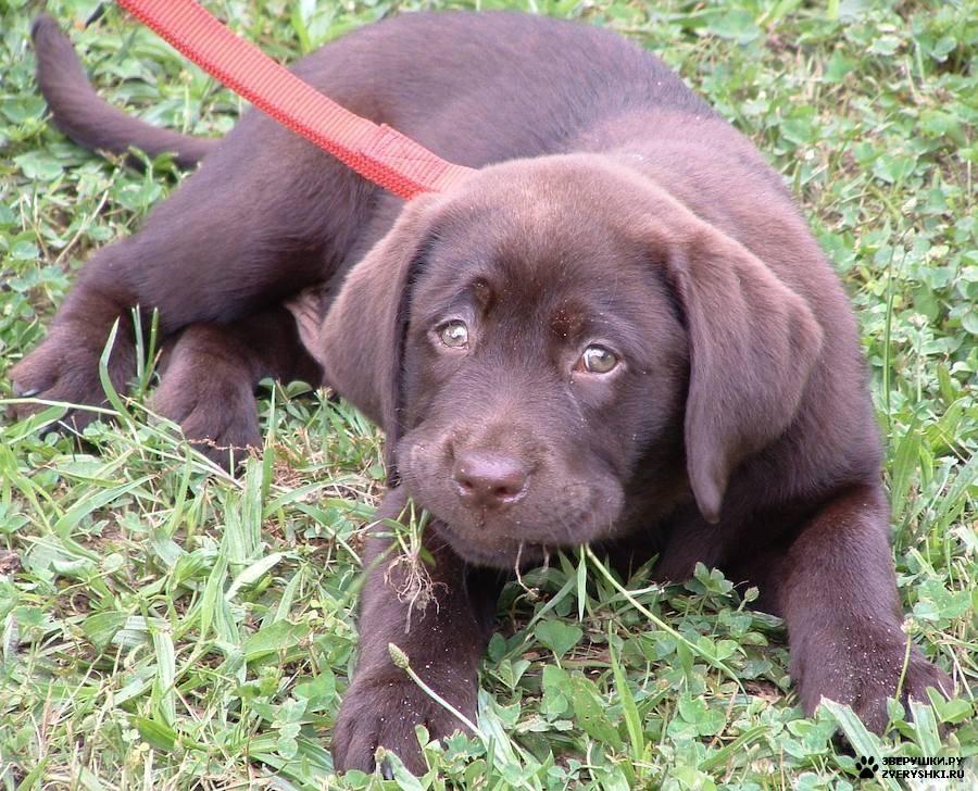 Описание породы лабрадор-ретривер с фото: характер собаки, черные, шоколадные, коричневые и палевые щенки, уход в домашних условиях и чем их кормить