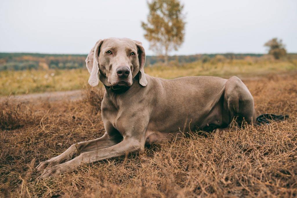 Веймарская легавая собака: описание породы