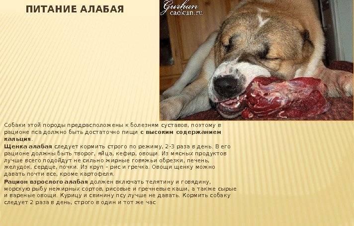 Особенности кормления щенков и взрослых алабаев: сколько ест в день