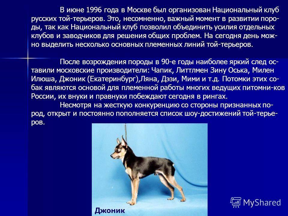 Русский той-терьер: описание, фото, характер, уход, обучение