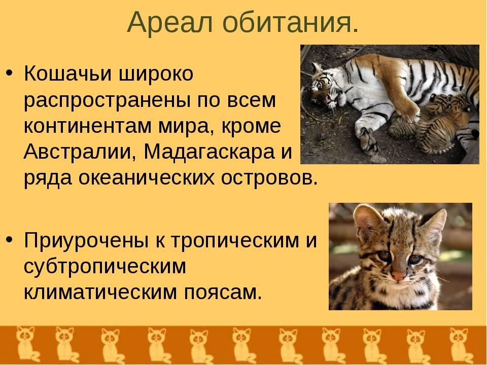 Андская горная кошка: внешность, образ жизни, охранный статус