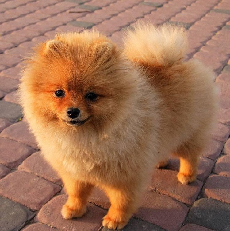 Самые маленькие породы собак: описание карликовых питомцев, видео о том, какие бывают виды, карманные собачки с фото и названиями