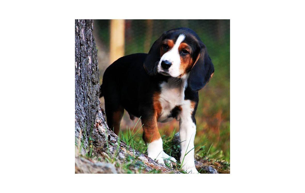 Гончая гамильтона: описание породы и характера (с фото) | все о собаках