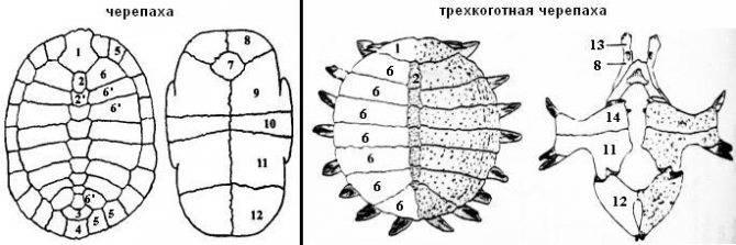 ᐉ из чего состоит панцирь черепахи - zoomanji.ru