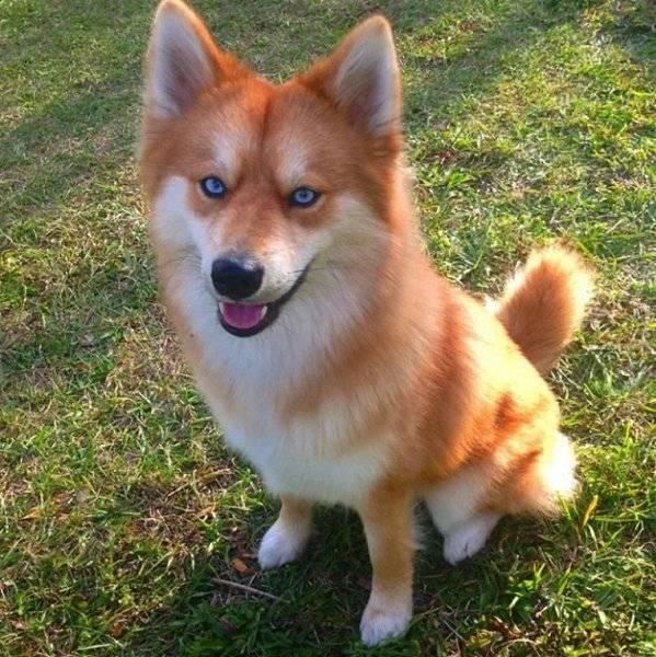 5 пород собак похожих на лису: описание, как называются, фото