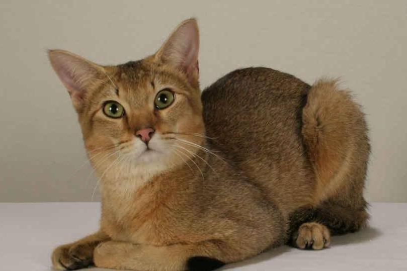 Кошка гибрид чаузи (хауси): характер и внешность, уход и содержание питомца, фото кота