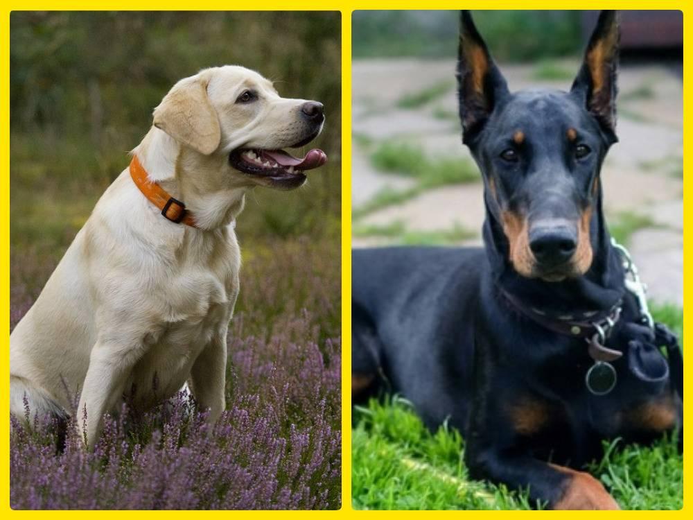 20 самых умных пород собак, лучший рейтинг
