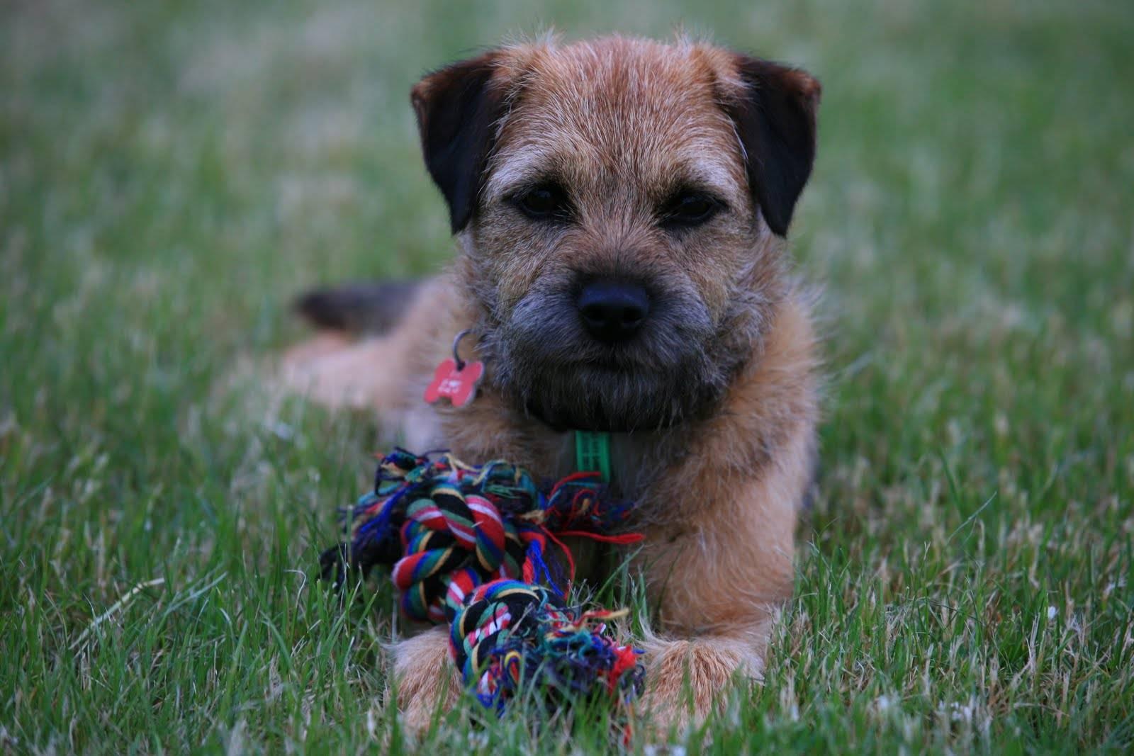 Бордер-терьер (border terrier) - животные и природа