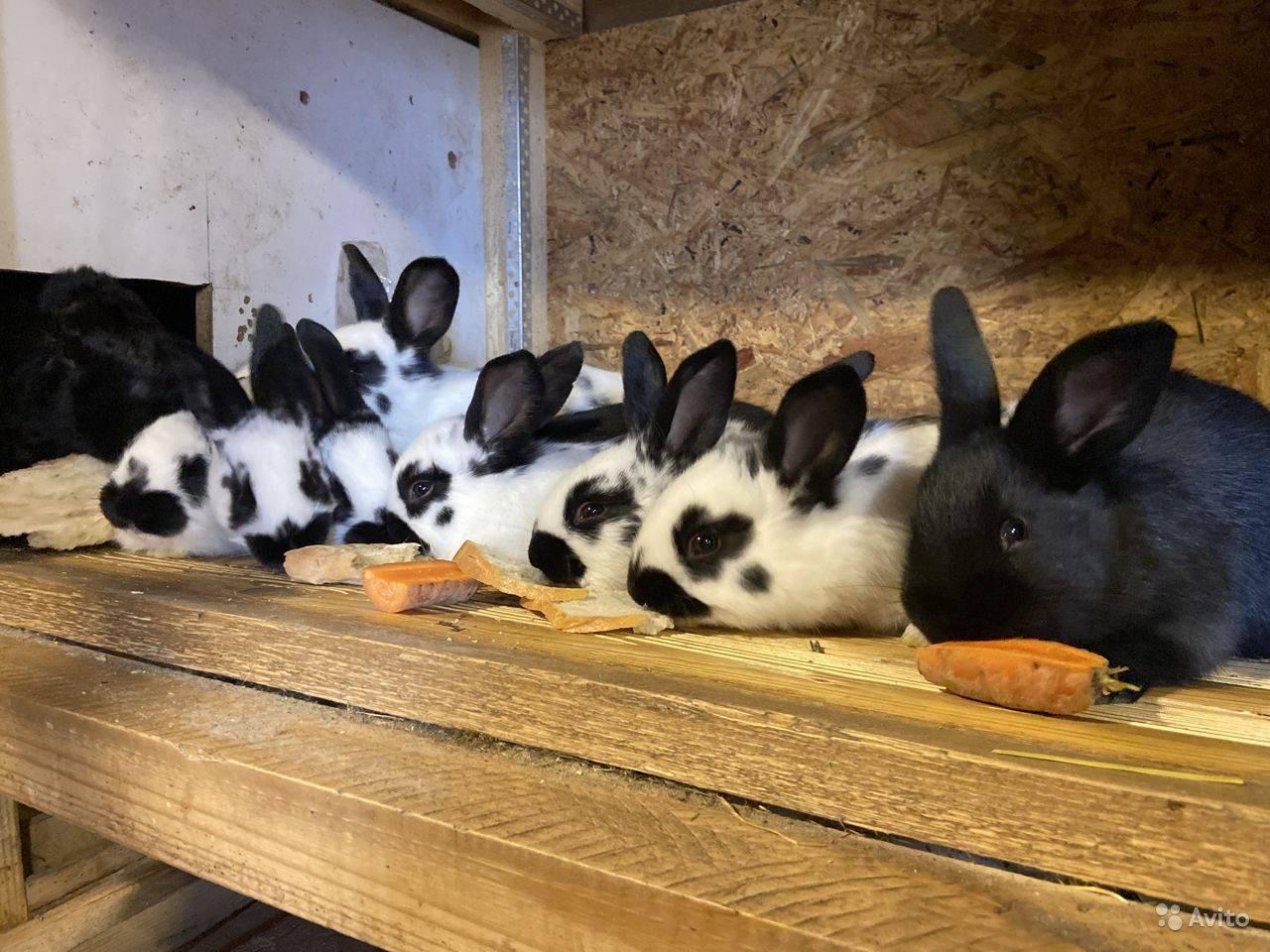 Кролики строкачи (36 фото): описание немецкой породы строкач, характеристика внешности, особенности разведения, отзывы владельцев