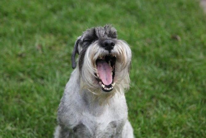 Собака прайтер — описание породы и темперамент